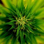 marijuana-101796_960_720