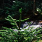 fir-tree-984011_960_720