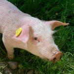piggy-1514324_960_720