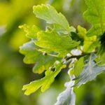 english-oak-1835263_960_720