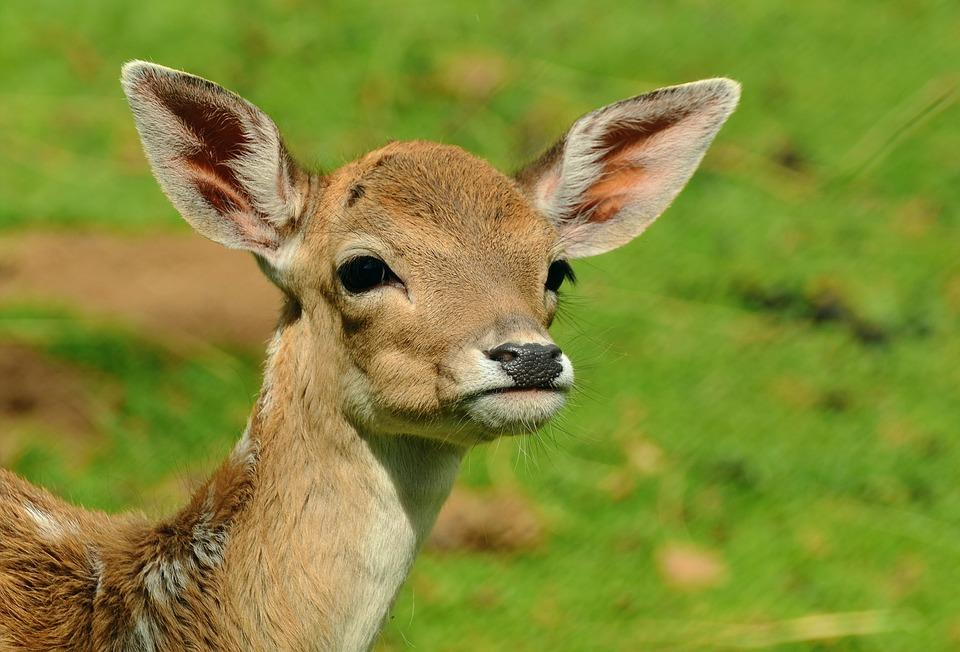 roe-deer-1586373_960_720