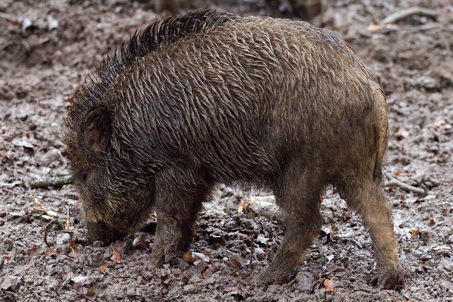 wild-boars-657916_1920